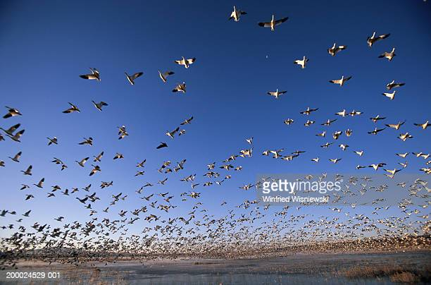 Flock of Snow geese (Anser caerulescens) taking off from lake, dawn