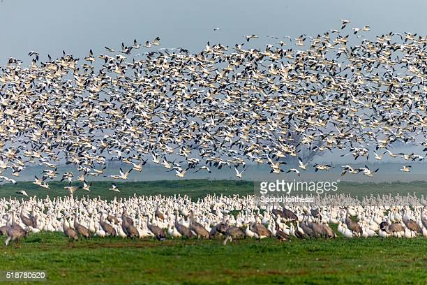 Flock of Snow Goose and low fog, California, USA