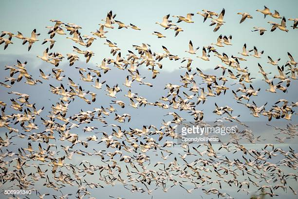 herde der snow gans, kalifornien, vereinigte staaten - vogelschwarm formation stock-fotos und bilder