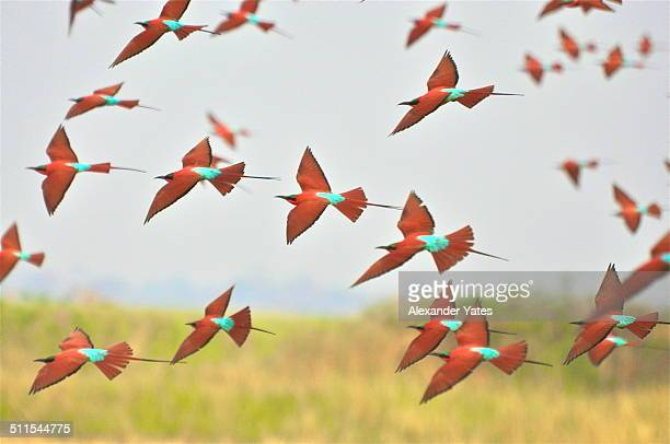 flock of southern carmine bee eaters - flock of birds stock pictures, royalty-free photos & images