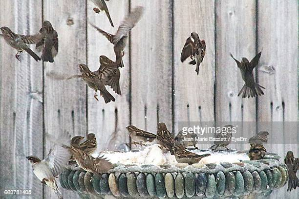Flock Of Sparrows Flying