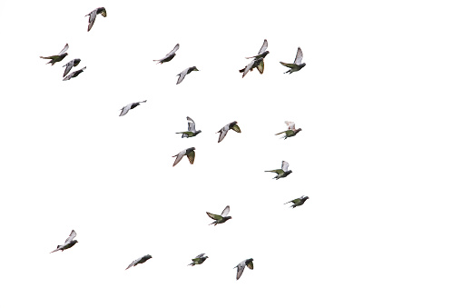flock of speed racing pigeon flying isolated white background 1081723770