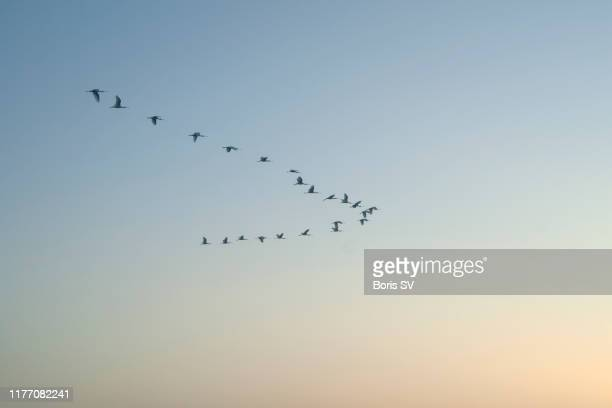 flock of spoonbills migrating above the sunrise in arcachon bay, france - vogel stock-fotos und bilder