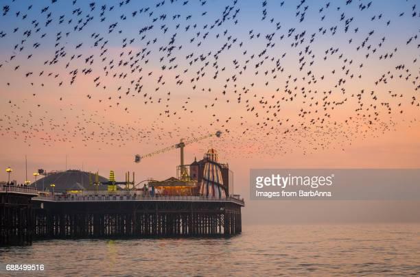 Flock of starlings at Brighton, East Sussex, UK
