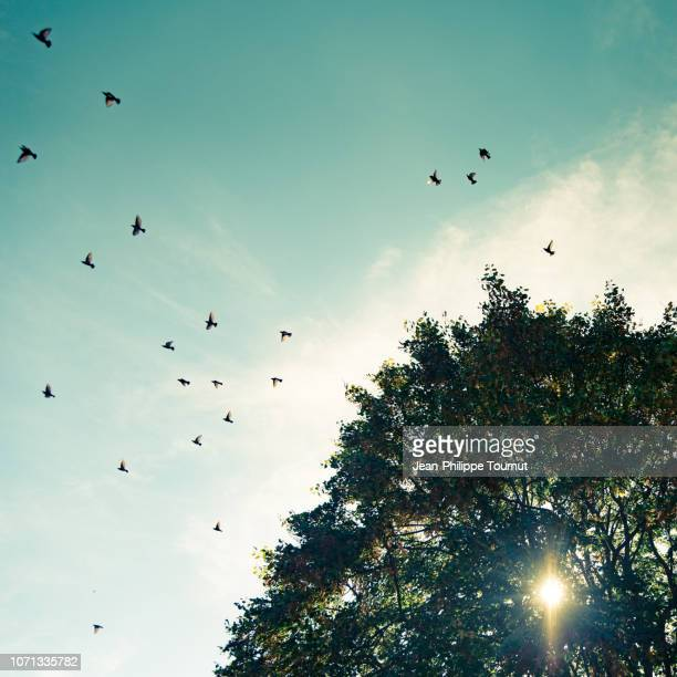 flock of starlings leaving a linden tree, autumn in alsace, eastern france - pájaro fotografías e imágenes de stock
