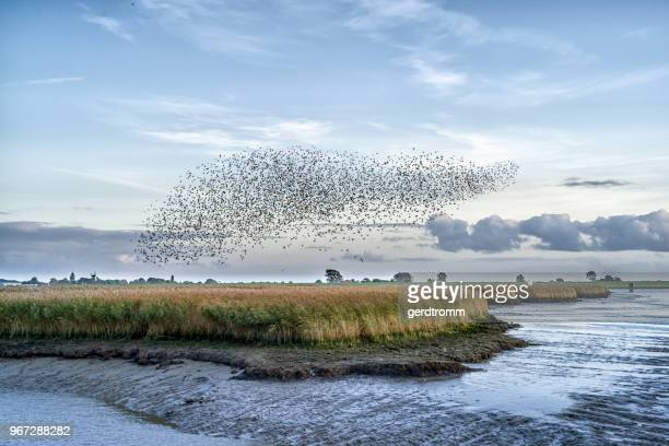 flock of starlings over river ems, pektum, east frisia, lower saxony, germany - fluss stock-fotos und bilder