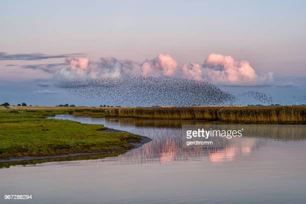 Flock of starlings over river Ems, Pektum, East Frisia, lower Saxony, Germany