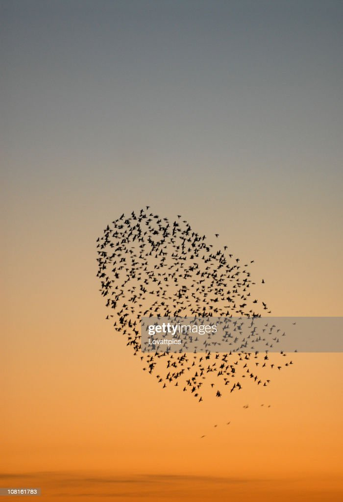 Flock of starlings. : Stock Photo