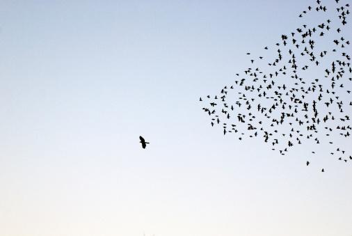 Flock of Sturnus vulgaris flying - gettyimageskorea