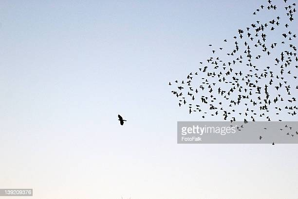 flock of sturnus vulgaris flying - individuality stock photos and pictures