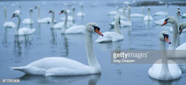 Flock of swans floating on water, Bosham, West Sussex, UK