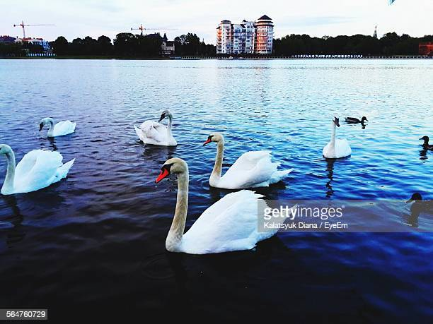 flock of swans swimming in lake - kaliningrad stock pictures, royalty-free photos & images