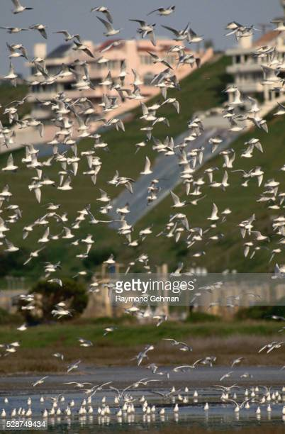 Flock of Terns and Gulls