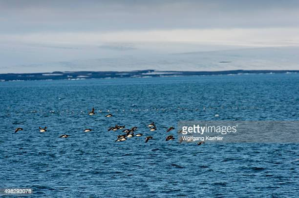 A flock of Thickbilled murres or Brünnich's guillemot flying over the Arctic Ocean near Alkefjellet which one of the largest bird cliff in...