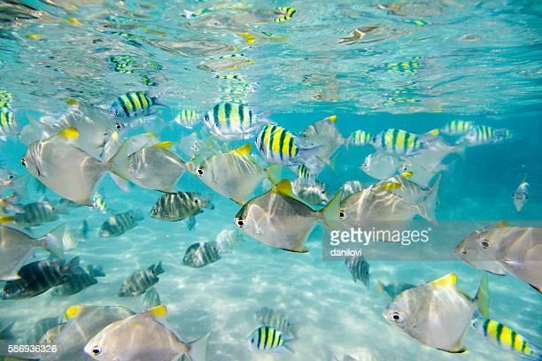 Troupeau de poissons tropicaux. Récif corallien de Hikkaduwa, Sri Lanka