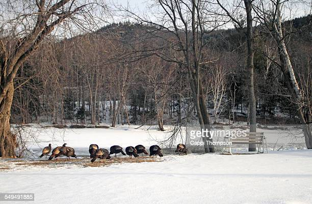flock of turkeys grazing - cappi thompson stock pictures, royalty-free photos & images