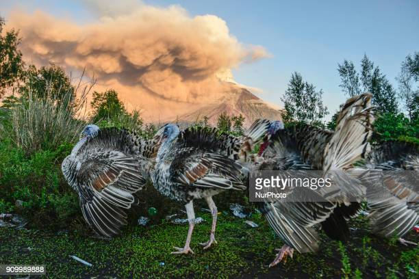 A flock of turkeys search for food as Mount Mayon erupts as seen from Legazpi Albay province Philippines January 24 2018 Mount Mayon the Philipines'...