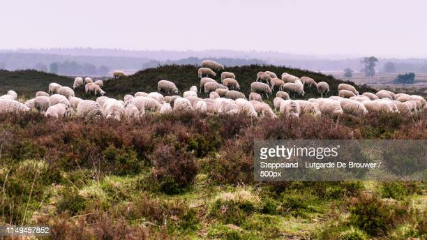 flock of veluwe heath sheep grazing on a barrow - gelderland stock pictures, royalty-free photos & images