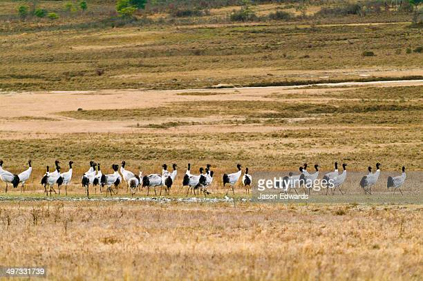 A flock of Vulnerable Black-necked Cranes walking across a high-altitude wetland.