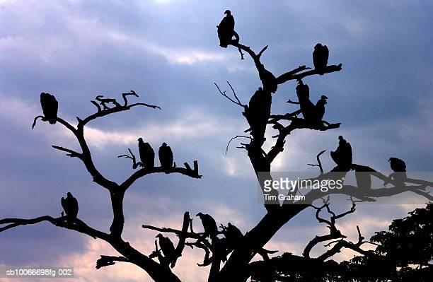 Flock of vultures roosting, Grumeti, Tanzania