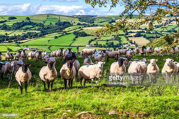 A flock of Welsh sheep in the Brecon Beacons National Park