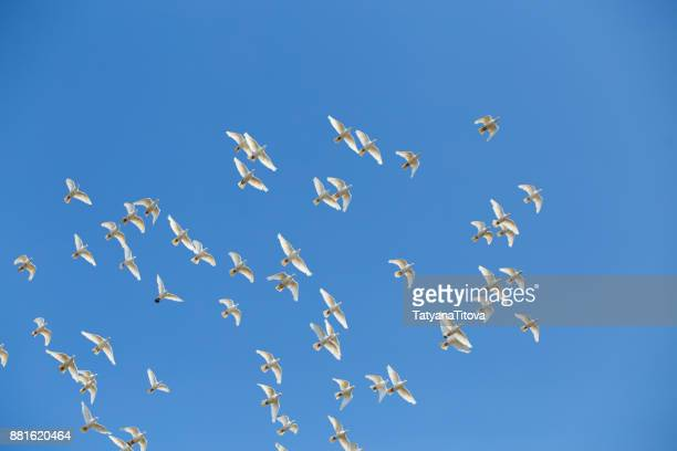 a flock of white doves against the blue sky - colomba foto e immagini stock