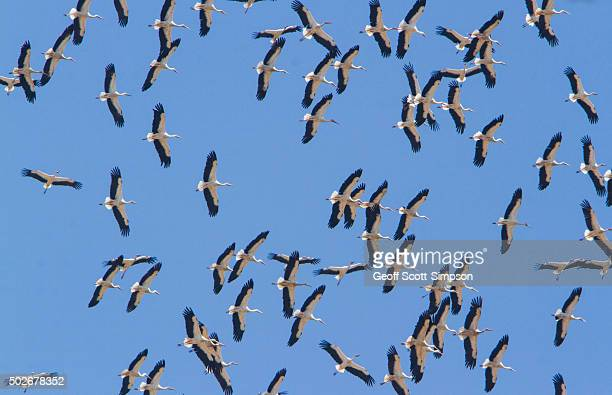 flock of white stork, ciconia ciconia in flight on migration, tarifa, spain - tarifa stock photos and pictures