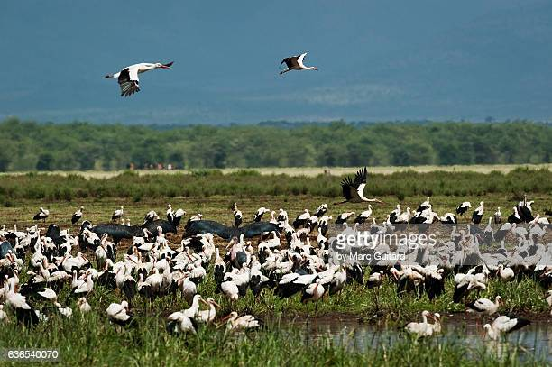 a flock of white storks (ciconia ciconia) and marabou storks (leptoptilos crumenifer), lake manyara national park, tanzania - marabout photos et images de collection