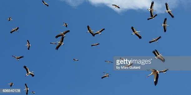 flock of white storks (ciconia ciconia), lake manyara national park, tanzania - grande gruppo di animali foto e immagini stock