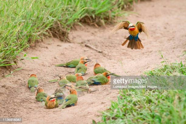 a flock of white-fronted bee-eaters, merops bullockoides, lie on sand while one flies down, wings up and tail spread - wildlife reserve stock photos and pictures