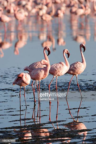 Flock of Wild weniger Flamingos am See Lake Nakuru