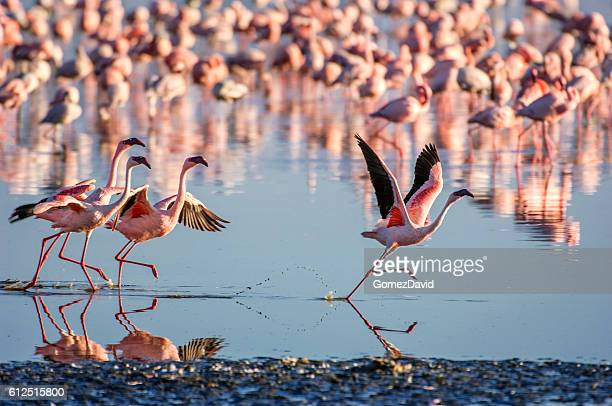 flock of wild lesser flamingos on lake nakuru - flamingo stock photos and pictures