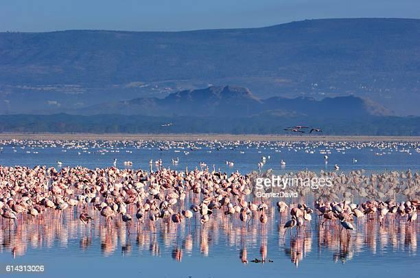 flock of wild lesser flamingos on lake nakuru - lake nakuru stock photos and pictures