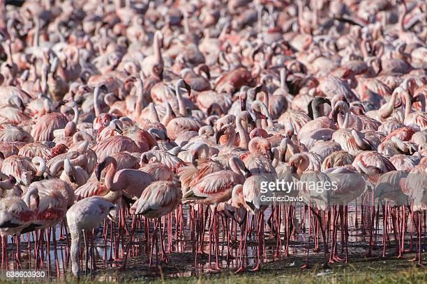 Bando de Wild menor Foenicopterídeos no Lago Nakuru