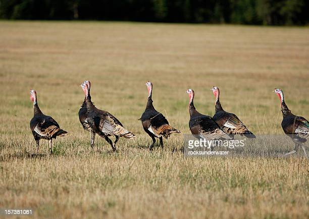 flock of wild turkey - wild turkey stock photos and pictures