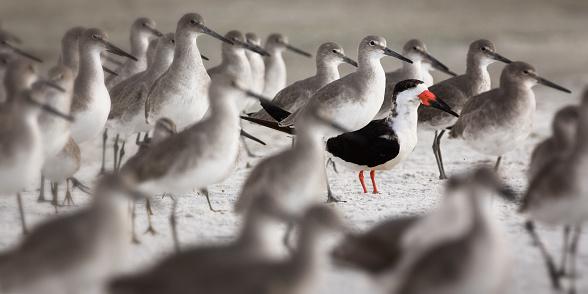 Flock of Willets with One Black Skimmer - gettyimageskorea