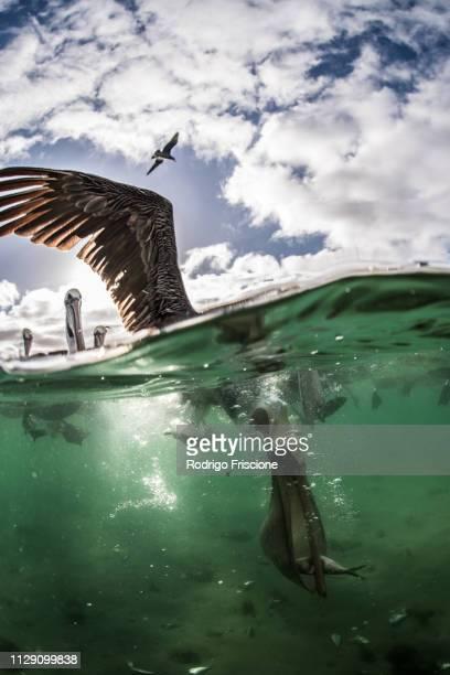 Flocks of brown pelicans feeding on fisherman's scraps