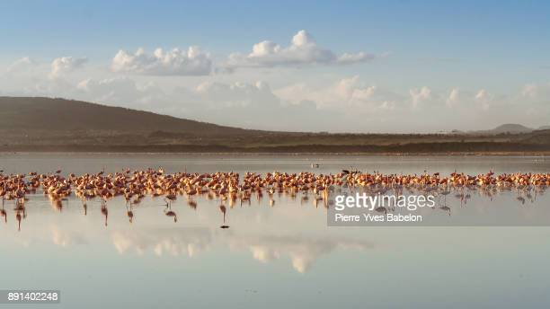 Flocks of pink flamingos