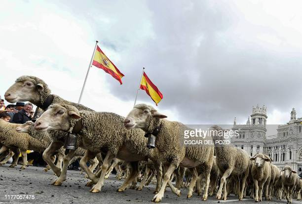 Flocks of sheep and goats are herded in the city center of Madrid on October 20 2019 Shepherds guided a flock of around 2000 sheep through the...