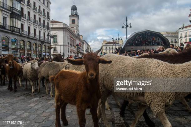 Flocks of sheep and goats crossing the city center during the annual transhumance festival. Shepherds guide 1800 sheep to promote the conservation of...
