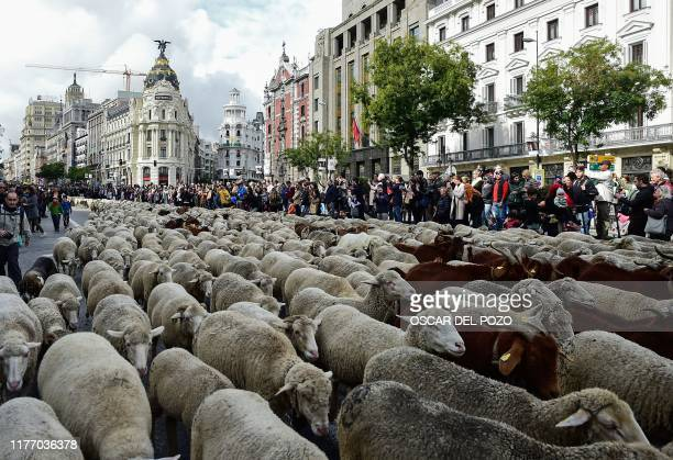TOPSHOT Flocks of sheep are herded in the city center of Madrid on October 20 2019 Shepherds guided a flock of around 2000 sheep through the streets...