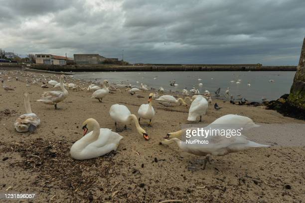 Flocks of swans, gulls, and pigeons seen in Bray Harbor during Level Five COVID-19 lockdown. On Tuesday, March 23 in Bray, County Wicklow, Ireland.