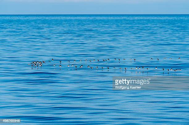 Flocks of Thick-billed murres or Brünnich's guillemot flying over the Arctic Ocean near Bellsund, which is a 20 km long sound on the west coast of...