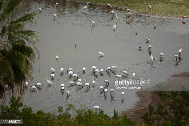 flocks of water birds including great egrets and flamingos fish and wade in a pond - timothy hearsum stock pictures, royalty-free photos & images