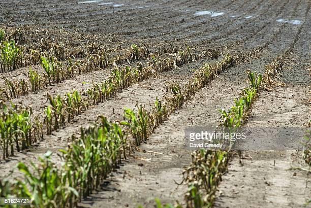 Flood Damaged Corn Is Seen On A Farm June 18 2008 In Cedar Rapids Iowa