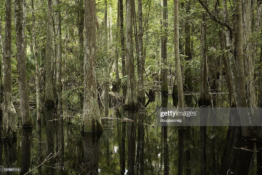 Flooded Cypress Forest : Stock Photo