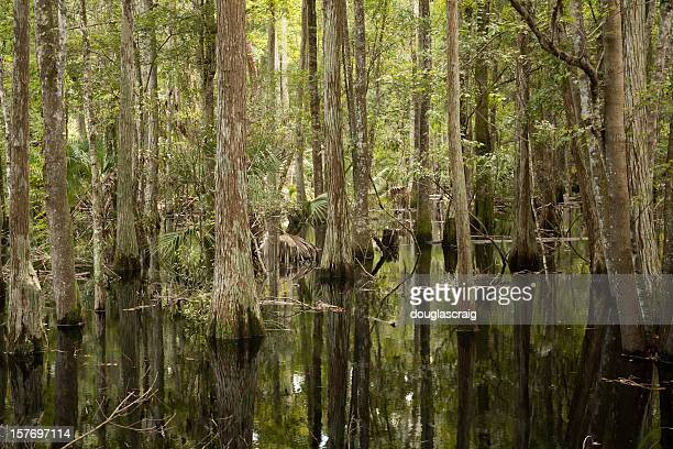 flooded cypress forest - cypress swamp stock photos and pictures