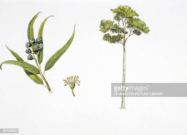 Flooded gum plant with flower leaf and fruit illustration
