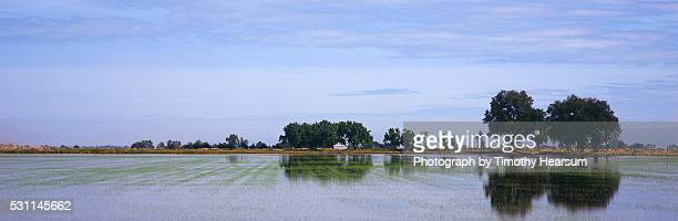 flooded rice field with trees and reflections - timothy hearsum stock-fotos und bilder