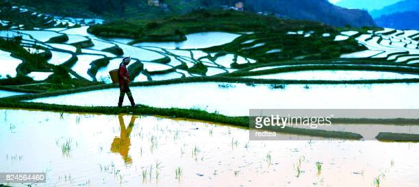 flooded rice fields in south china - yunnan province stock pictures, royalty-free photos & images